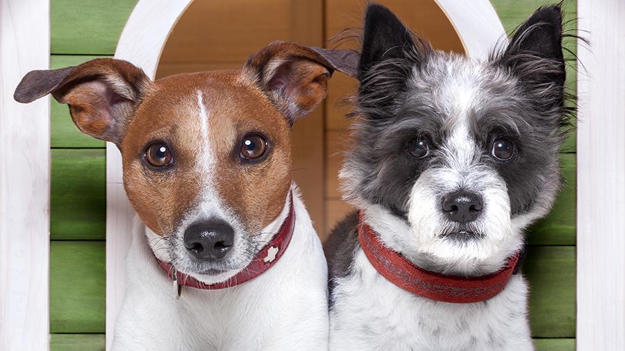 Cães com ciúmes - PetNut Alimentação Natural para Cães