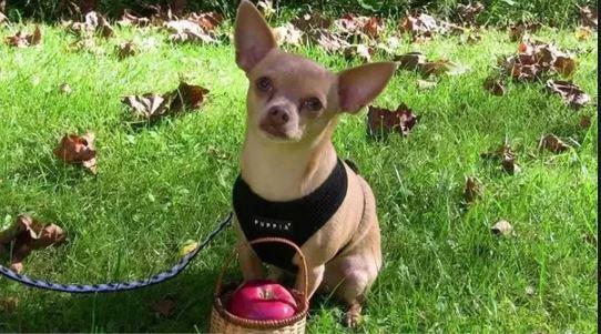 Cachorro pode comer maçã - PetNut